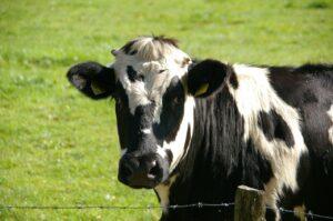 乳牛は普通にいます